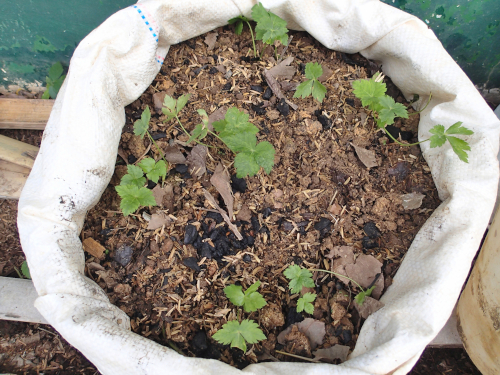 袋に野菜の苗を植える
