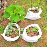 野菜の袋栽培のメリット&コツ!家庭菜園やベランダで簡単にトマトやジャガイモを育てる方法(土・肥料・支柱)