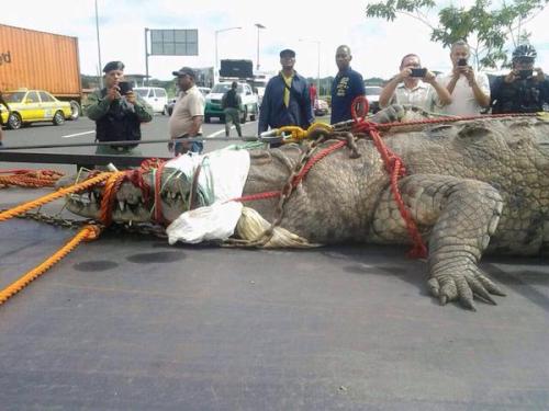 ギネスブックに載るか?パナマ運河で捕獲されたワニ