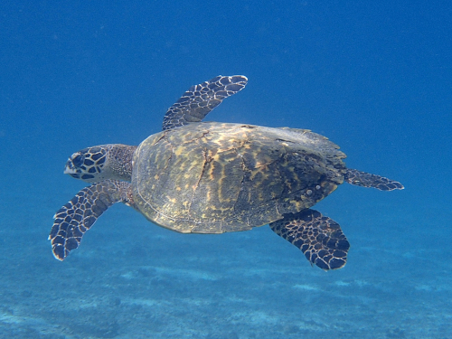コイバ島で泳ぐウミガメ