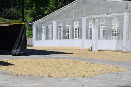コーヒー豆の屋外乾燥場所
