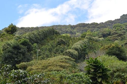 コーヒー農園の防風林