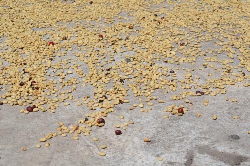 太陽光で乾燥中のコーヒー豆