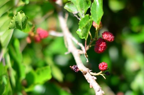 木いちごラズベリー