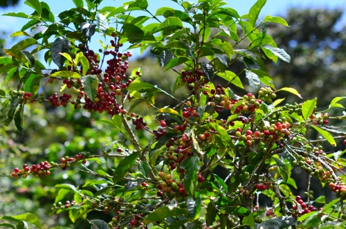 コーヒーの苗木と結実中の果実