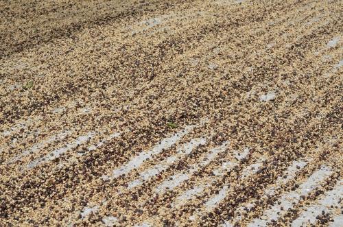 コーヒー農園で乾燥中の豆