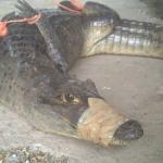 パナマ運河の世界最大の巨大ワニほど大きくないけど野生のワニを捕獲した