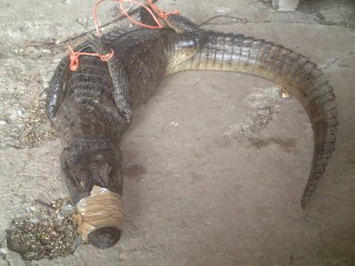 パナマの農牧省で捕獲された小型のワニ