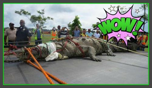 パナマ運河で世界最大のワニが捕獲