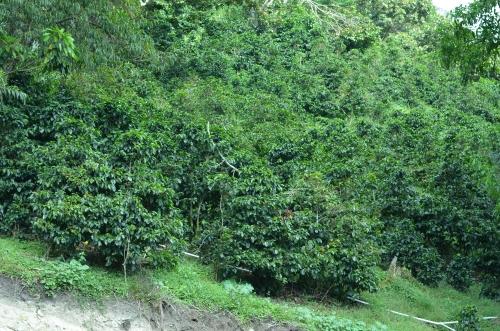 レリダ農園のコーヒーの木