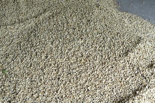 乾燥させたコーヒー豆