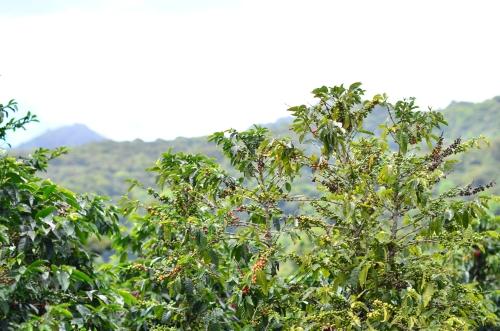 栽培されているコーヒーの木