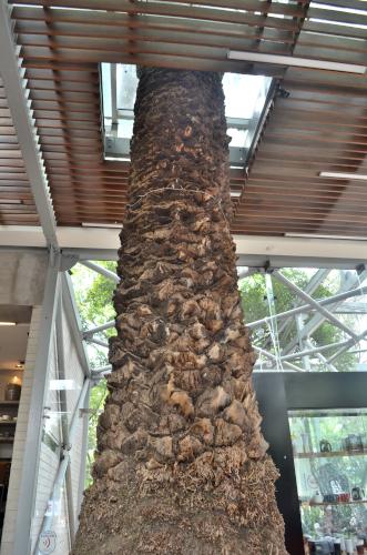 メキシコシティのスタバに生える木
