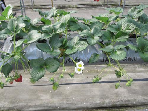 袋による養液土耕栽培