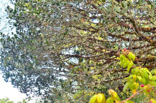 リトルアボカドの木にとまっているケツァール