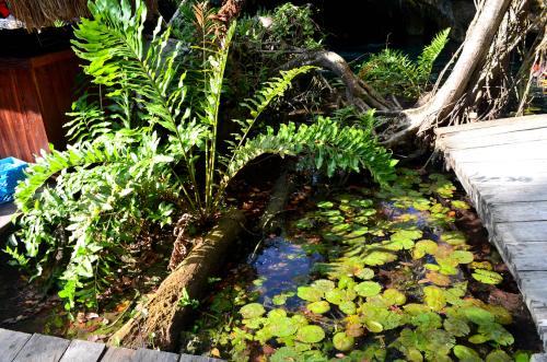 ユカタン半島のグランセノーテの水生植物