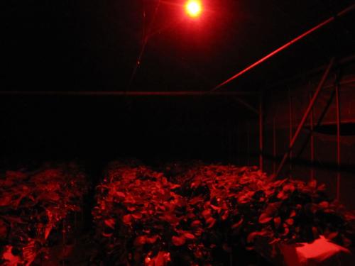 赤色LED照射
