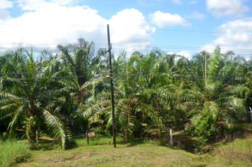 コスタリカのパナマ国境近くのヤシ畑
