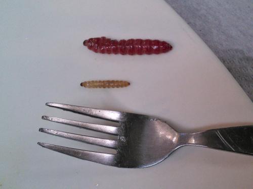 イモムシの大きさの比較