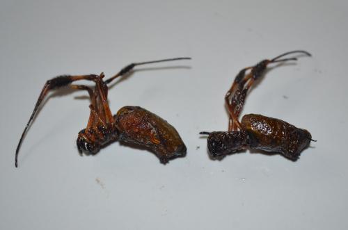 メキシコの伝統虫料理クモ