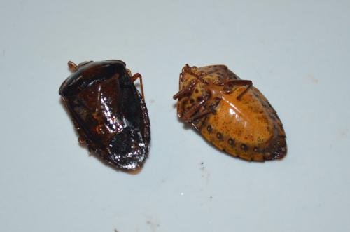 メキシコの虫料理カメムシ