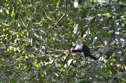 マヌエル・アントニオ国立公園の猿