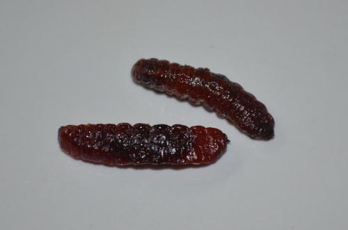 メキシコの伝統虫料理イモムシ