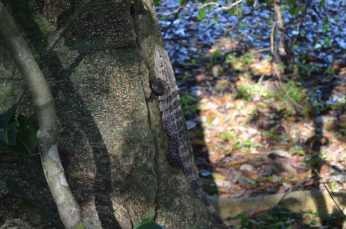 マヌエル・アントニオ国立公園のイグアナ