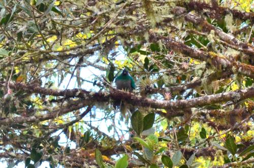 リトルアボカドの木にとまっているケツァールの雌