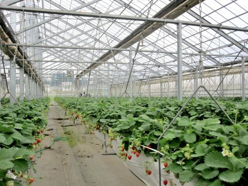 吊り下げ式の養液土耕栽培