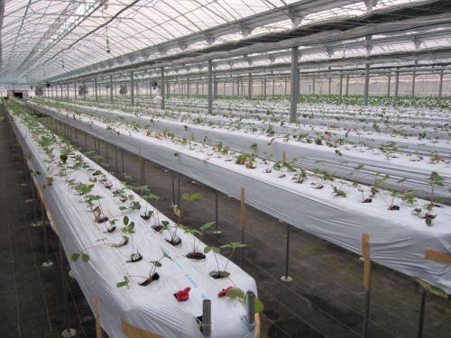 トロ箱による養液土耕栽培