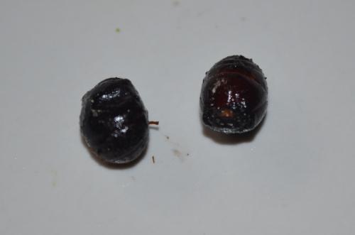 メキシコで食べたアリ