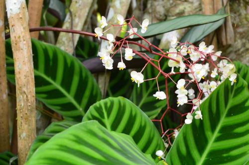 コスタリカのタバコン温泉の花