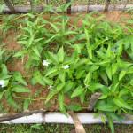 空芯菜の栽培方法!空心菜の種からの育て方、挿し木の増殖方法、クウシンサイのおすすめのレシピ