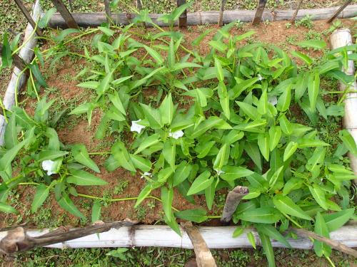 茎を伸ばして生育するアサガオナ