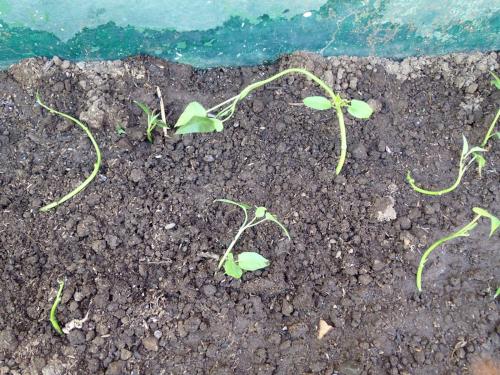 植えた空心菜