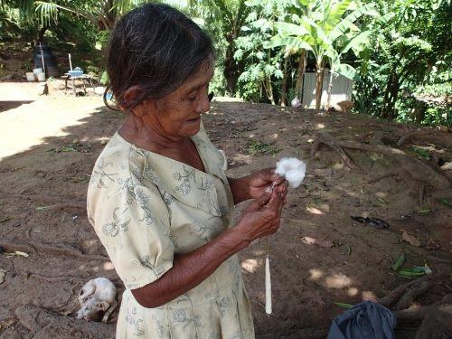 栽培した綿