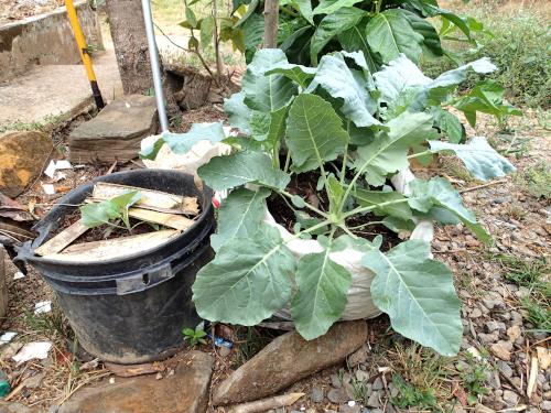 バケツと袋に植えたコールラビの苗