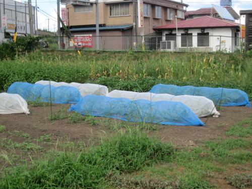 空心菜は青色寒冷紗で囲うと収穫量が増える