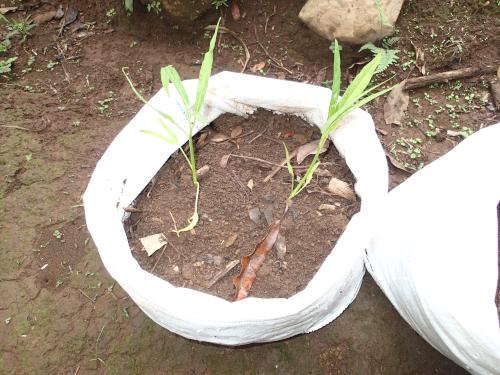 空心菜の袋栽培・定植直後