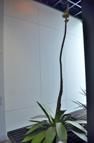 リュウゼツラン科の植物