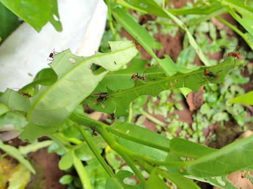葉切りアリに食われる空心菜