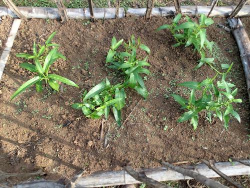 定植して2週間ほど経過したアサガオナ