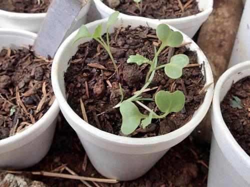 3本育ったコールラビの苗