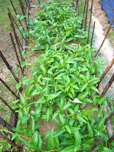 空心菜は雨が多いと良く育つ