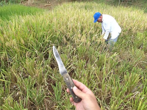 パナマ流の稲の収穫
