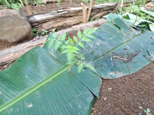 トマトのバナナの葉マルチ
