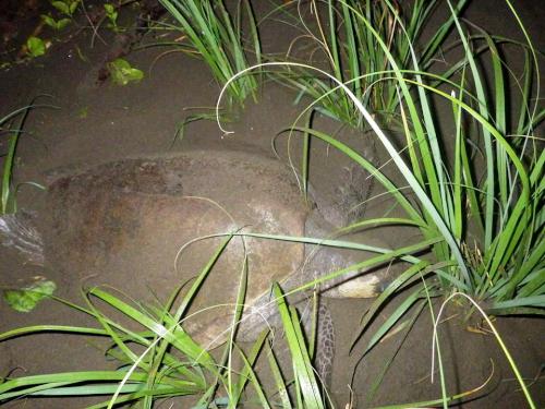 イスラ・カニャス島のウミガメの産卵