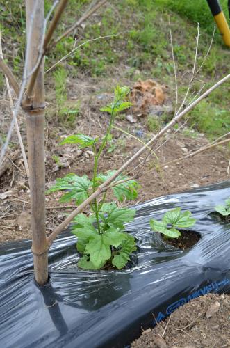 ツル性野菜のビニールマルチ栽培