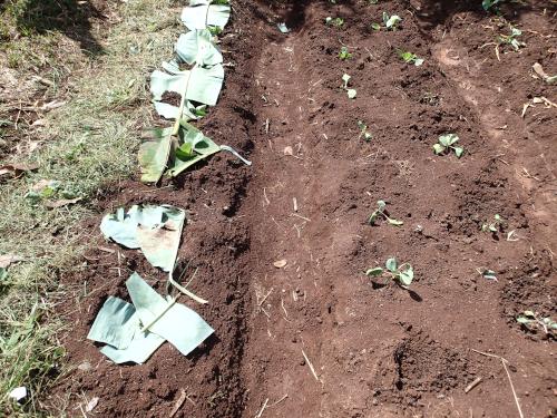 バナナの葉マルチ栽培の比較実験